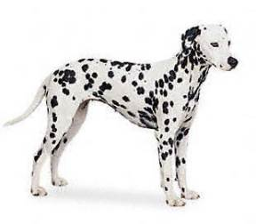 Puppy Education - Breed Section - Dalmatian