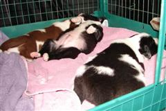 Newborn Puppies sleeping, one on his back
