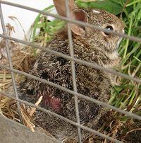 Injured Cottontail Rabbit