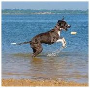 Great Dane Puppy playing in the Water