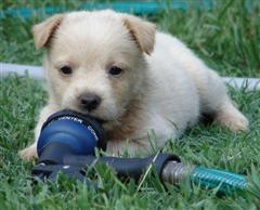 Cute Puppy chewing on a water hose