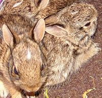 Orphaned Cottontails